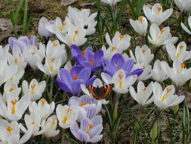crocuses, spring bulbs, Gillingham