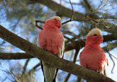 Galah parrots